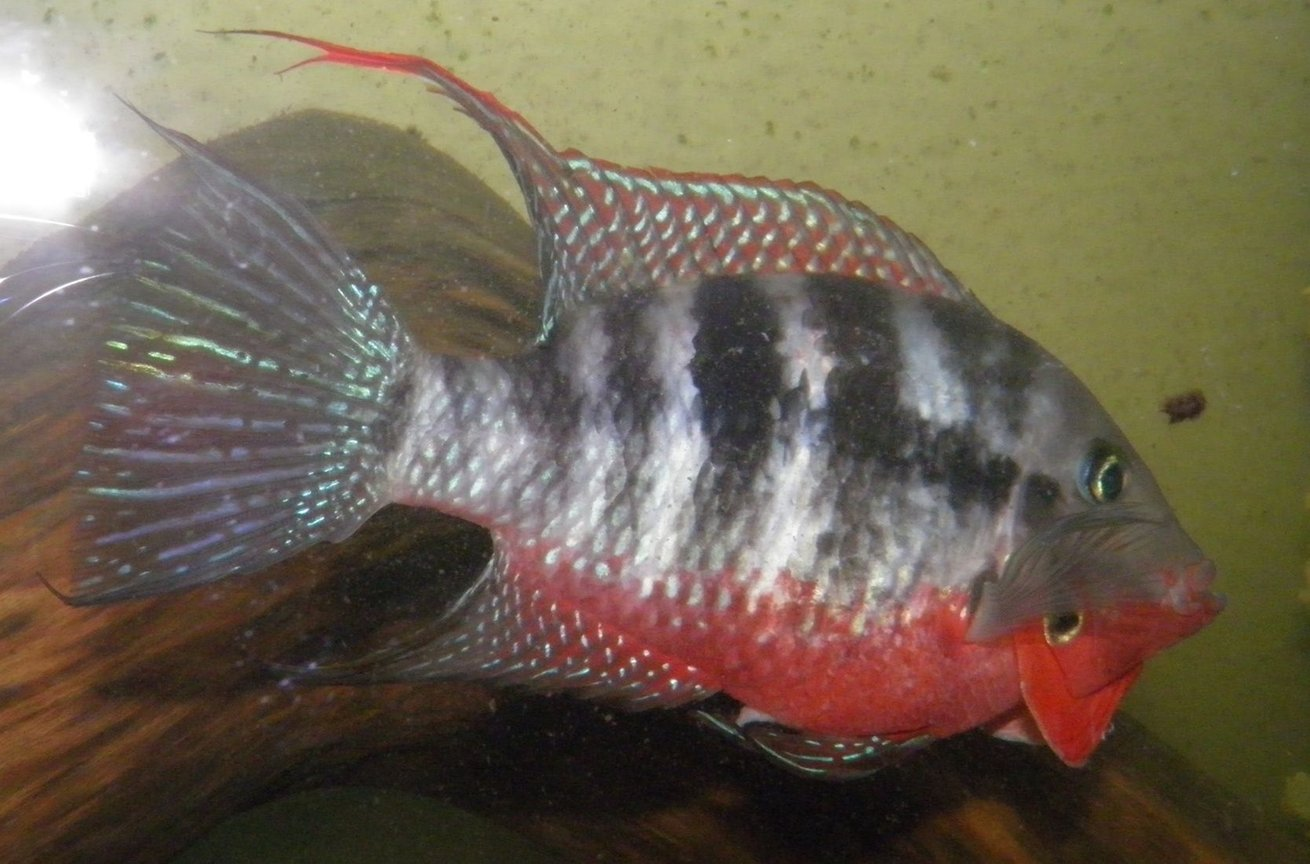 "freshwater fish - thorichthys meeki - firemouth cichlid stocking in 230 gallons tank - 5"" Firemouth cichlid / Thorichthys meeki going into attack mode"