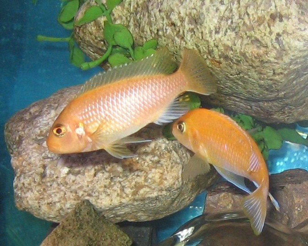 freshwater fish - pseudotropheus estherae - red zebra cichlid stocking in 45 gallons tank - red zebra foreplay