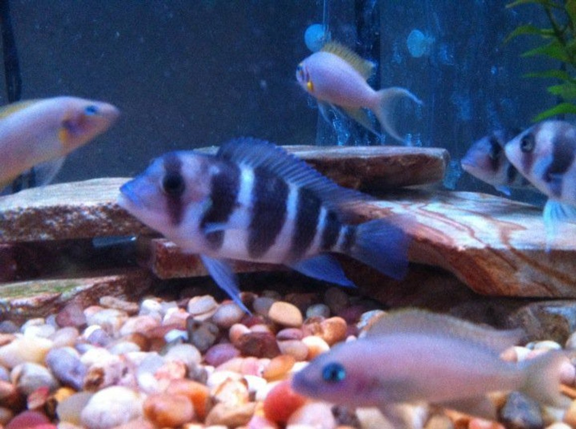 freshwater fish - cyphotilapia frontosa - frontosa cichlid stocking in 54 gallons tank - Frontosa