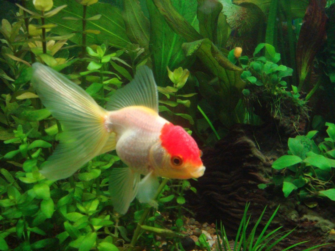 freshwater fish - carassius auratus - red cap oranda goldfish stocking in 25 gallons tank - redcap