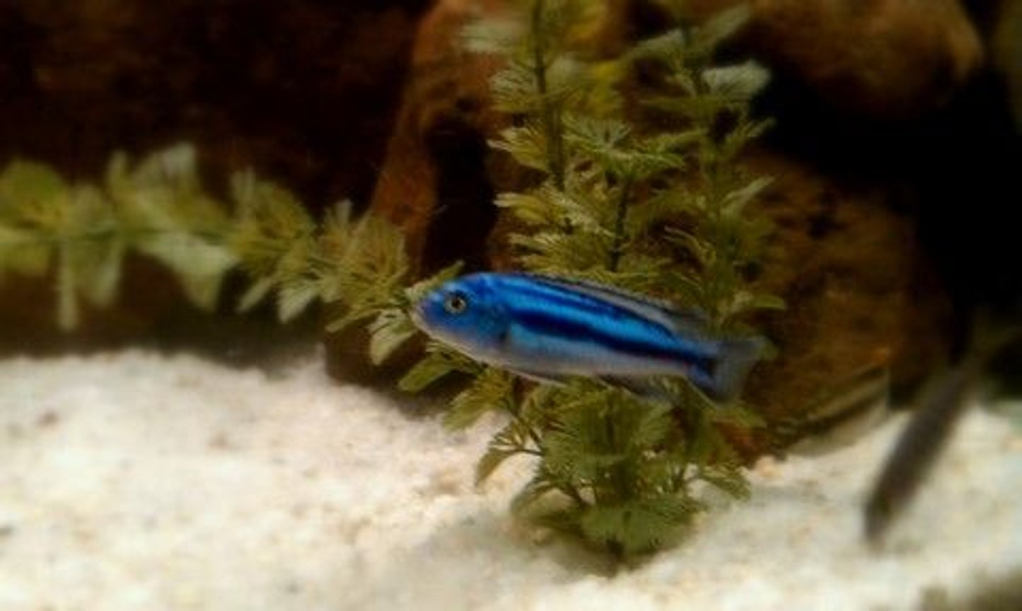 freshwater fish - melanochromis johannii - johanni cichlid stocking in 72 gallons tank - Electric Blue Johanni