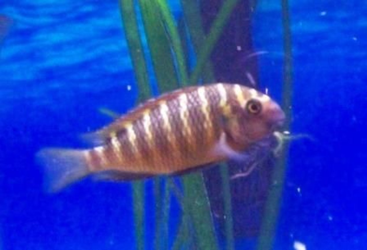freshwater fish - tropheus moorii stocking in 46 gallons tank - Tropheus Moorii Red Chimba