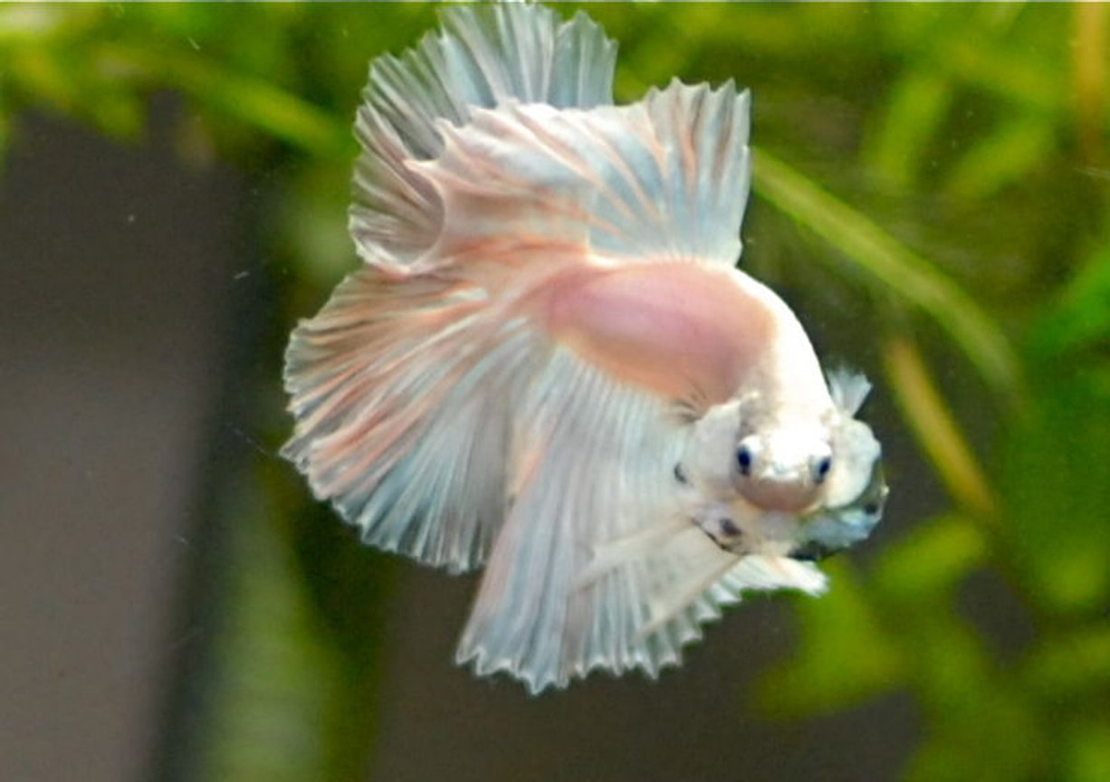 freshwater fish - betta splendens - halfmoon betta stocking in 50 gallons tank - opaque halfmoon betta Mr. Dzi