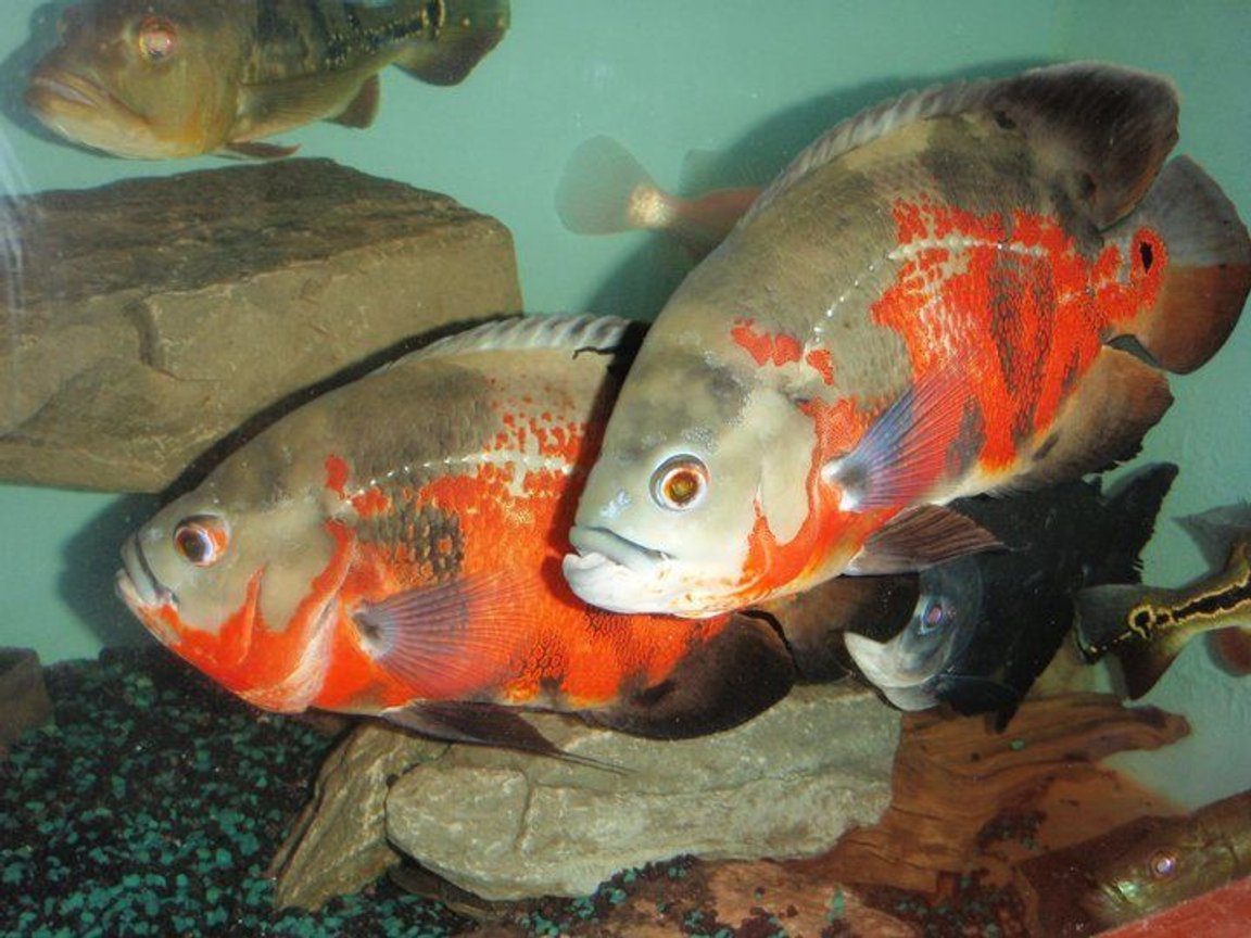 freshwater fish - astronotus ocellatus - red oscar stocking in 275 gallons tank - oscars
