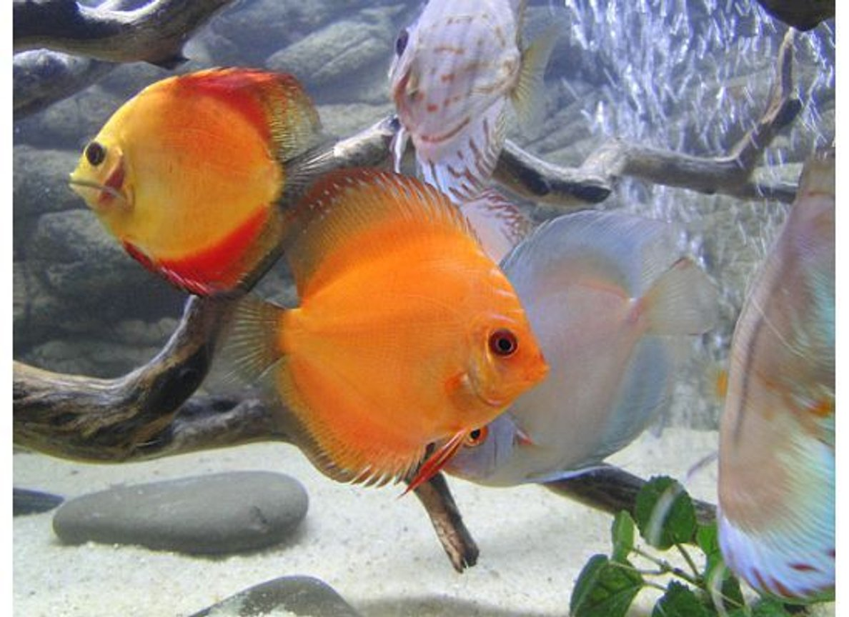 freshwater fish - fire red discus stocking in 125 gallons tank - Fire red Discus