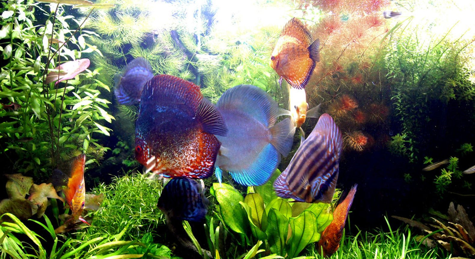 freshwater fish - symphysodon sp. - red marlboro discus stocking in 75 gallons tank - Lovely!