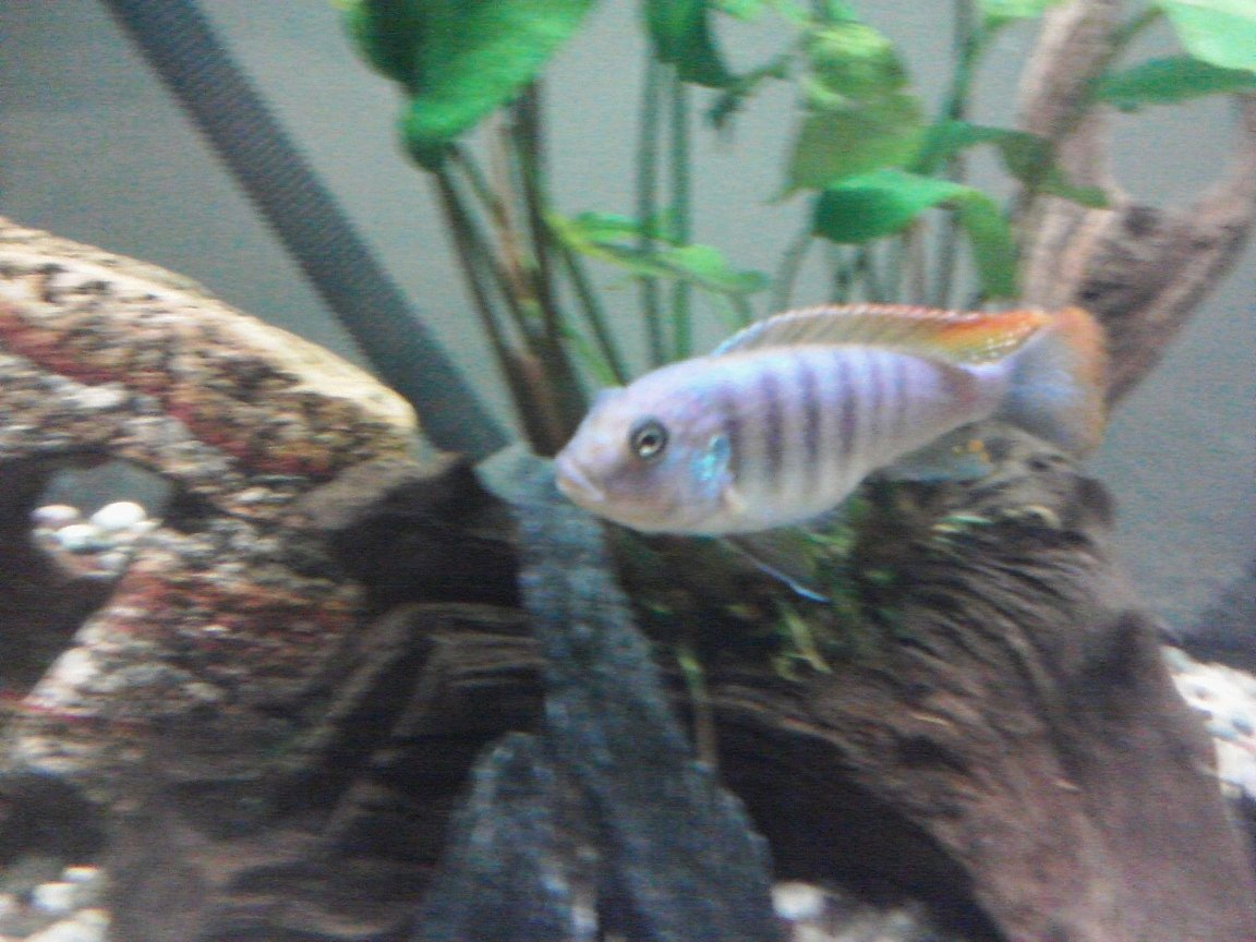 freshwater fish - metriaclima greshakei - ice blue red top zebra stocking in 55 gallons tank - Ice blue cichlid