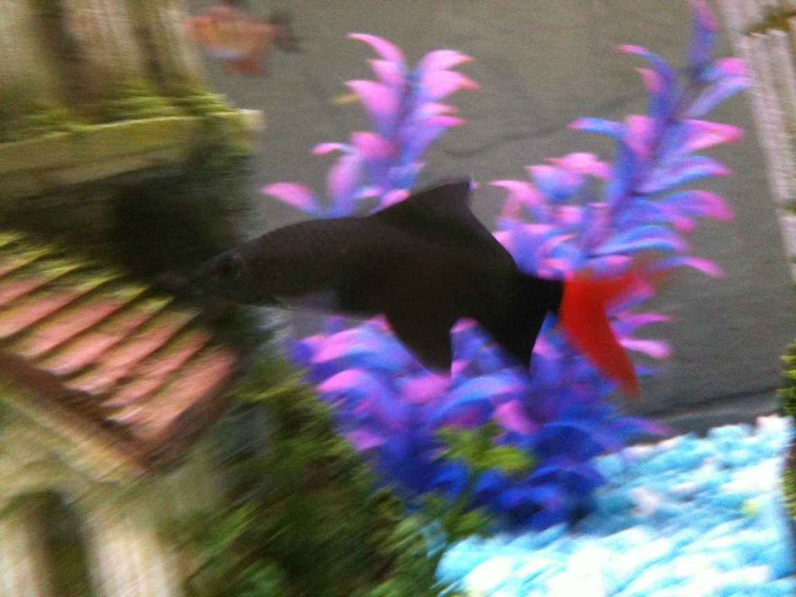 freshwater fish - epalzeorhynchos bicolor - redtail shark stocking in 36 gallons tank - Red Tail Shark.