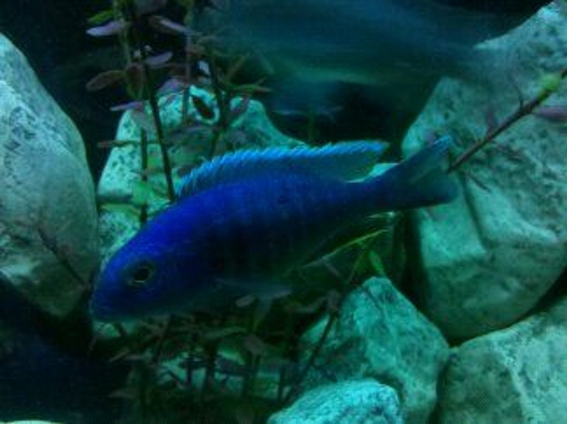 freshwater fish - sciaenochromis ahli - electric blue cichlid stocking in 55 gallons tank - Electric Blue