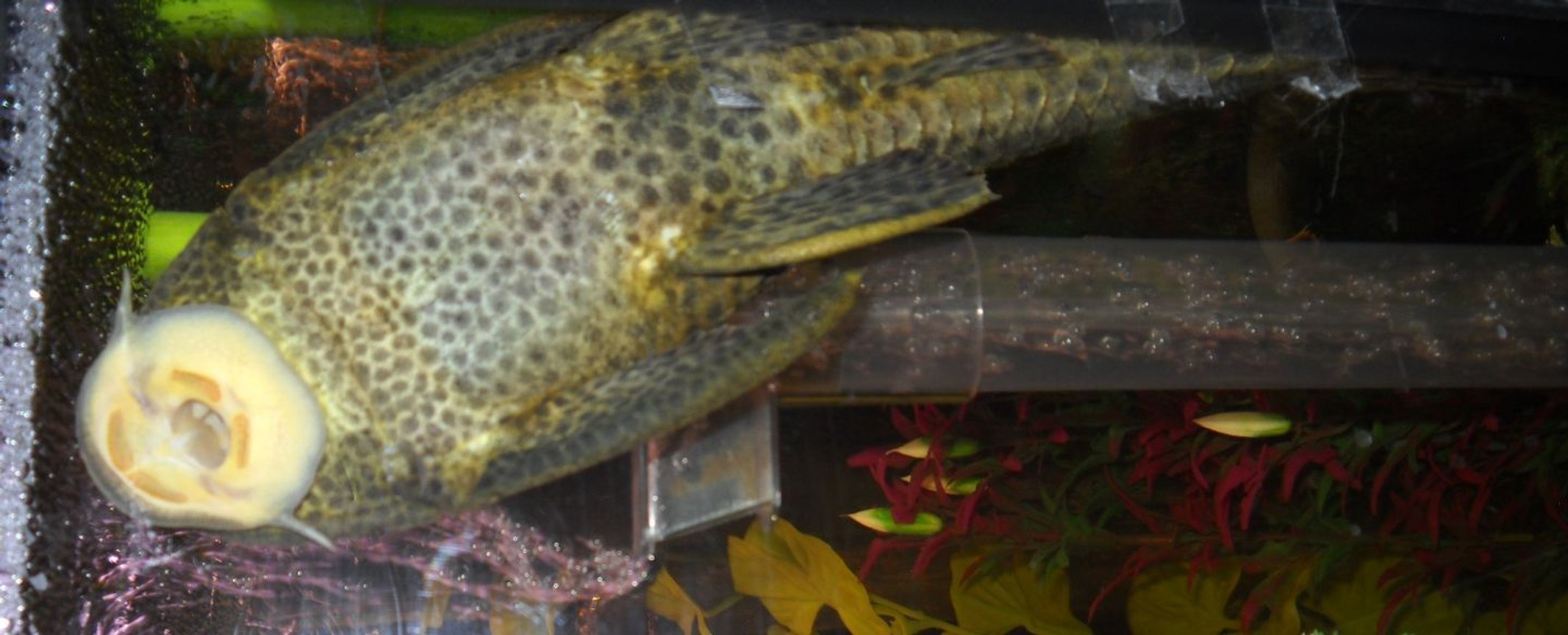 freshwater fish - glyptoperichthys gibbiceps - sailfin pleco (l-83) stocking in 55 gallons tank - pleco