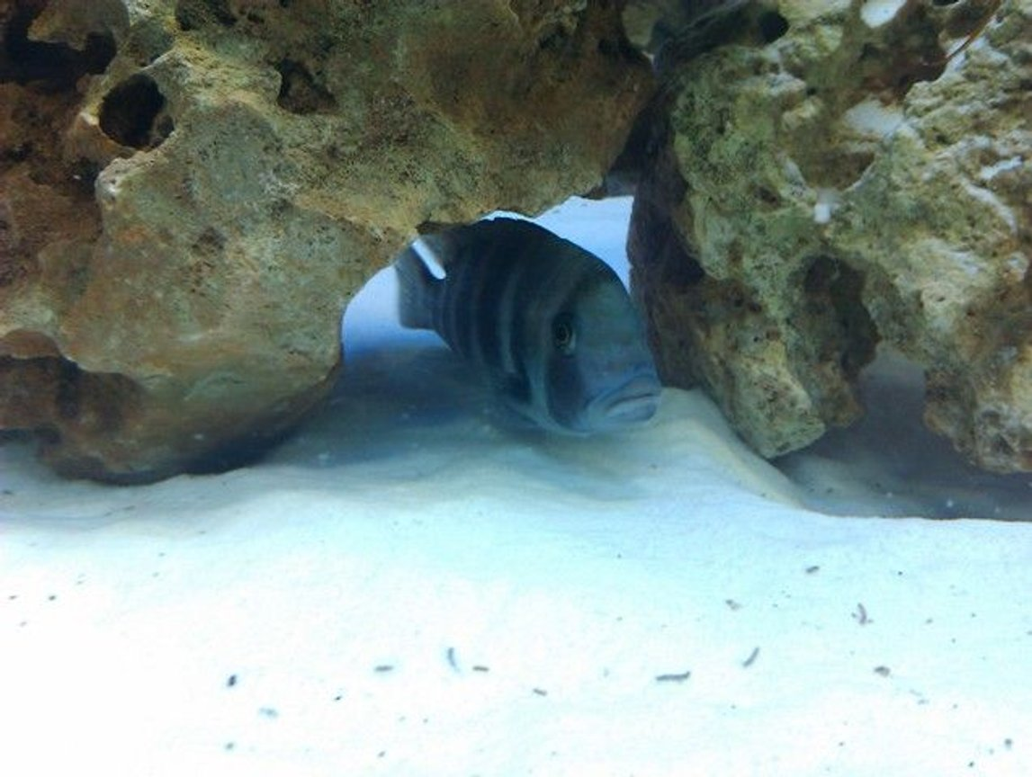 freshwater fish - cyphotilapia frontosa - frontosa cichlid stocking in 160 gallons tank - Frontosa