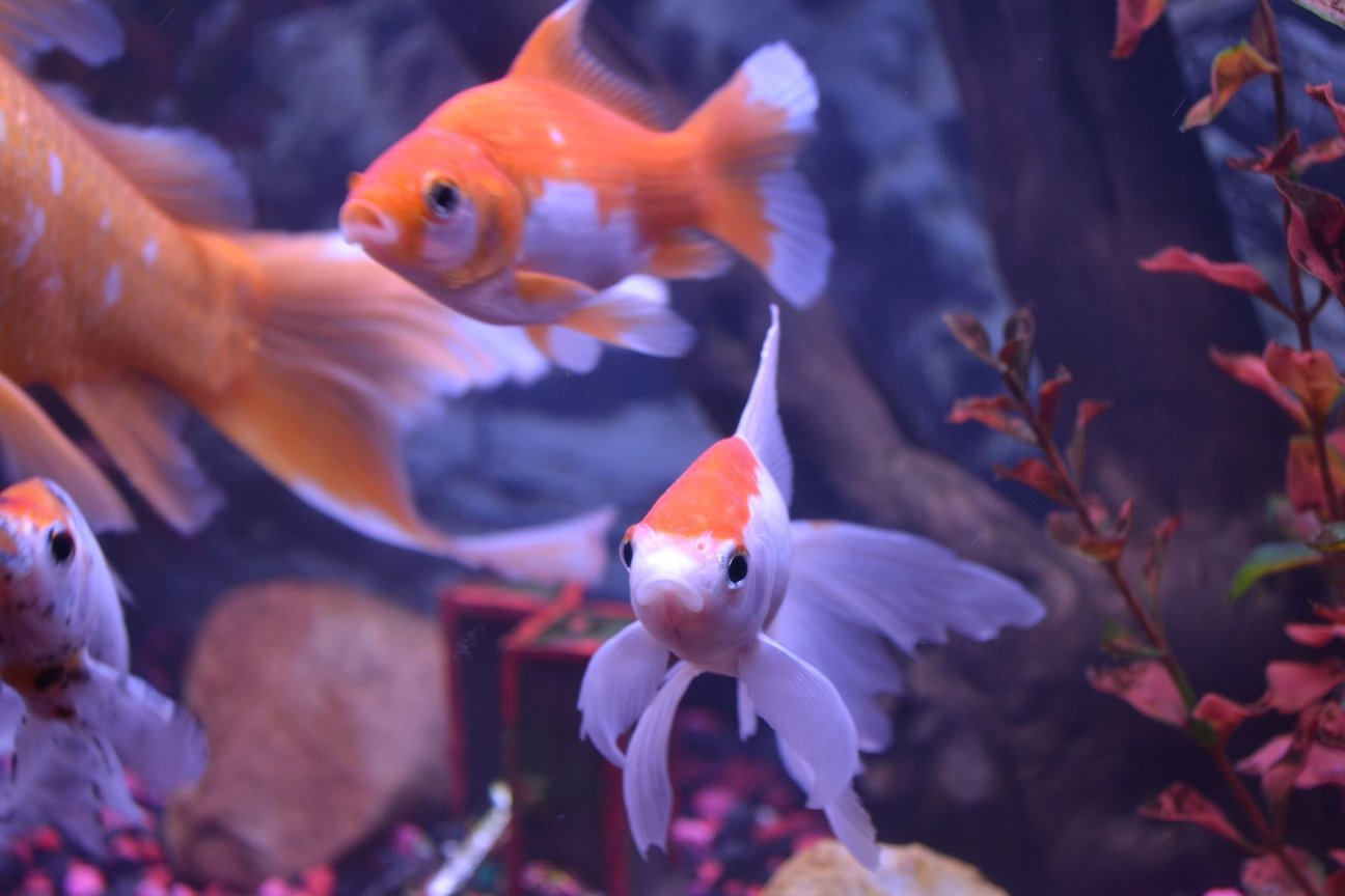 "freshwater fish - carassius auratus - fantail goldfish stocking in 75 gallons tank - OUR FISH RECENTLY ENCOUNTERED ""TAIL(FIN) ROT"", NOW THE'RE BACK BETTER THAN EVER"