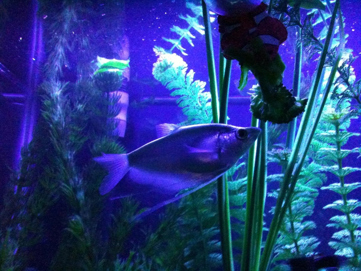 freshwater fish - trichogaster microlepis - moonlight gourami stocking in 55 gallons tank - moonlight gourami (Trichogaster microlepis)under an actinic light in the 55 devouring cooked broccoli....