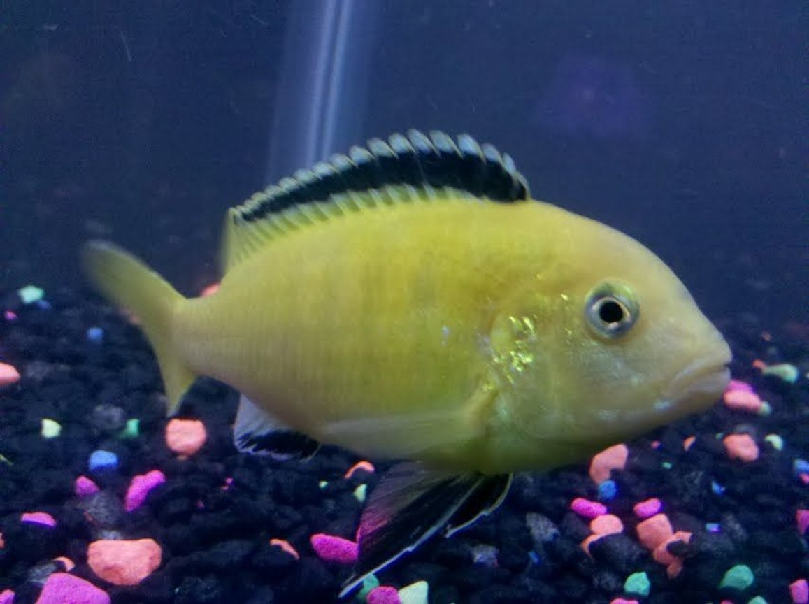 freshwater fish - labidochromis caeruleus - electric yellow cichlid stocking in 55 gallons tank - Again
