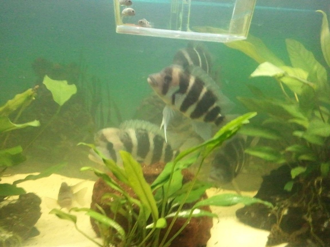 freshwater fish - cyphotilapia frontosa - frontosa cichlid stocking in 63 gallons tank - frontosas