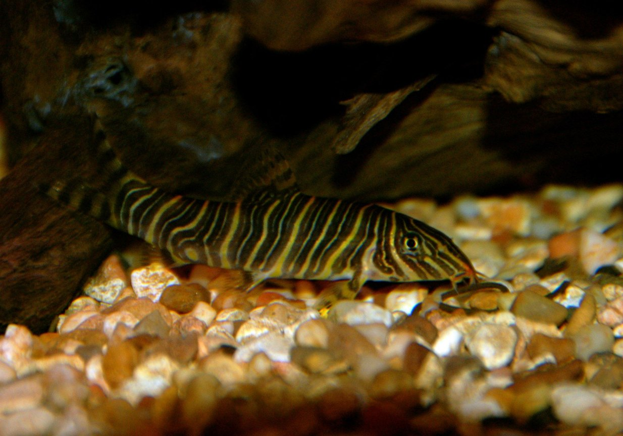 freshwater fish - botia striata - zebra loach stocking in 30 gallons tank - This is one of the 2 Zebra Loachs I have in my tank. Very beautiful fish!