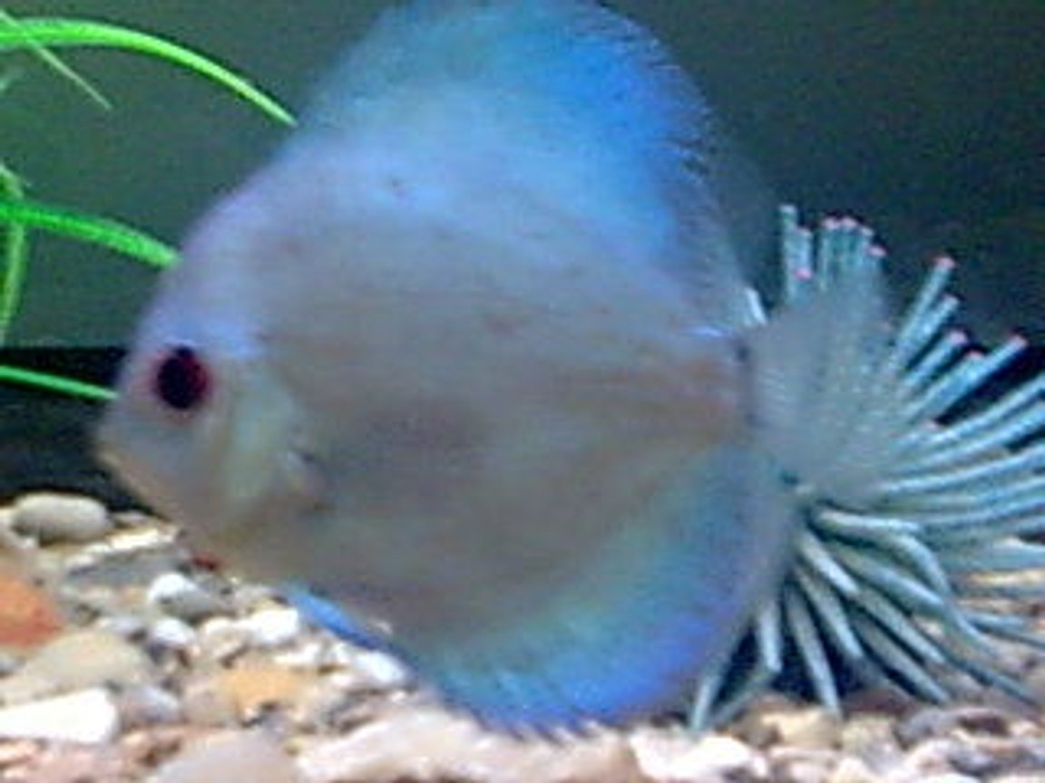 freshwater fish - symphysodon sp. - blue diamond discus stocking in 8 gallons tank - one of my discus fish