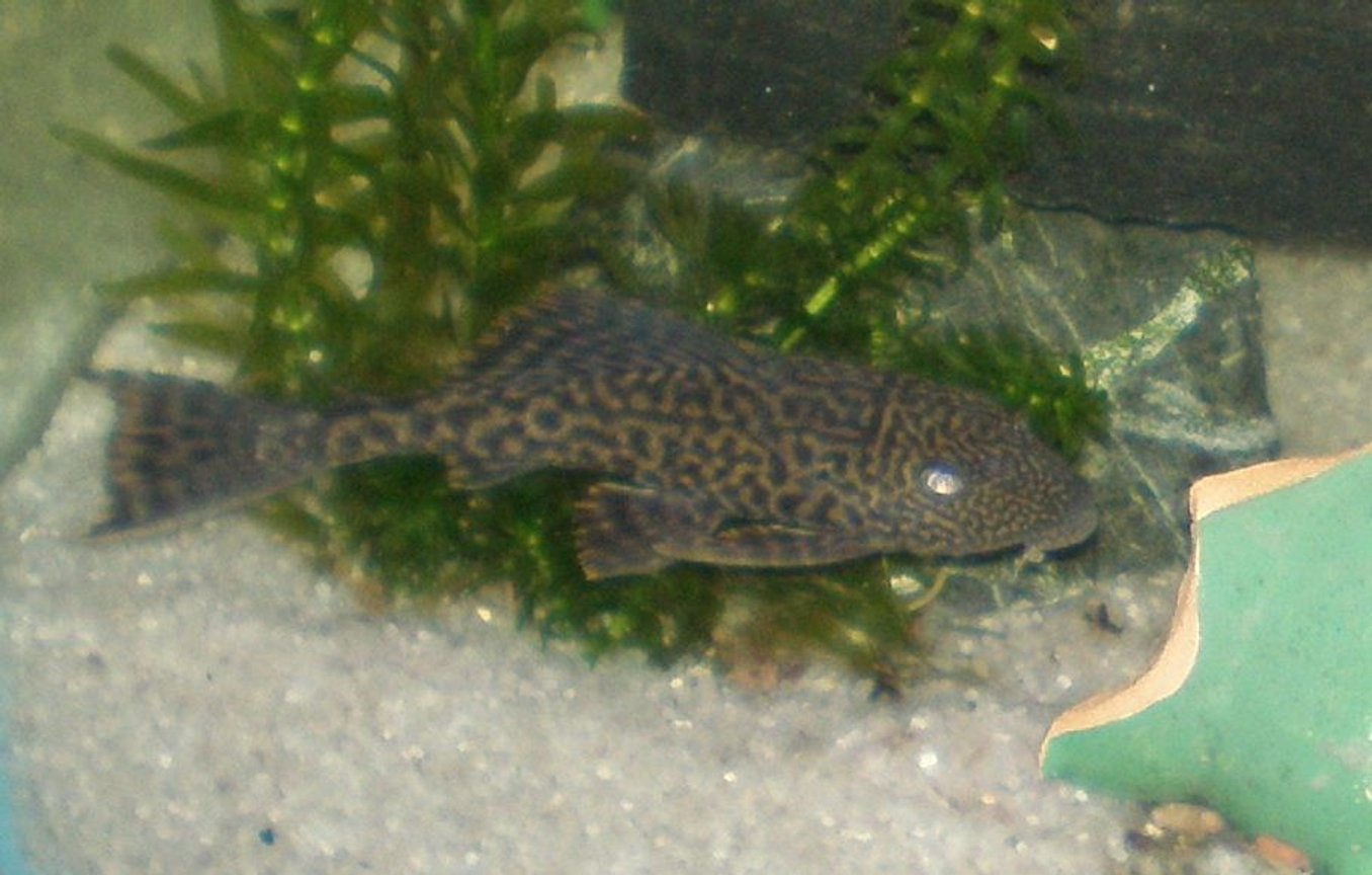 freshwater fish - glyptoperichthys gibbiceps - sailfin pleco (l-83) stocking in 30 gallons tank - My Pleco/Suckerfish Named -Dyson