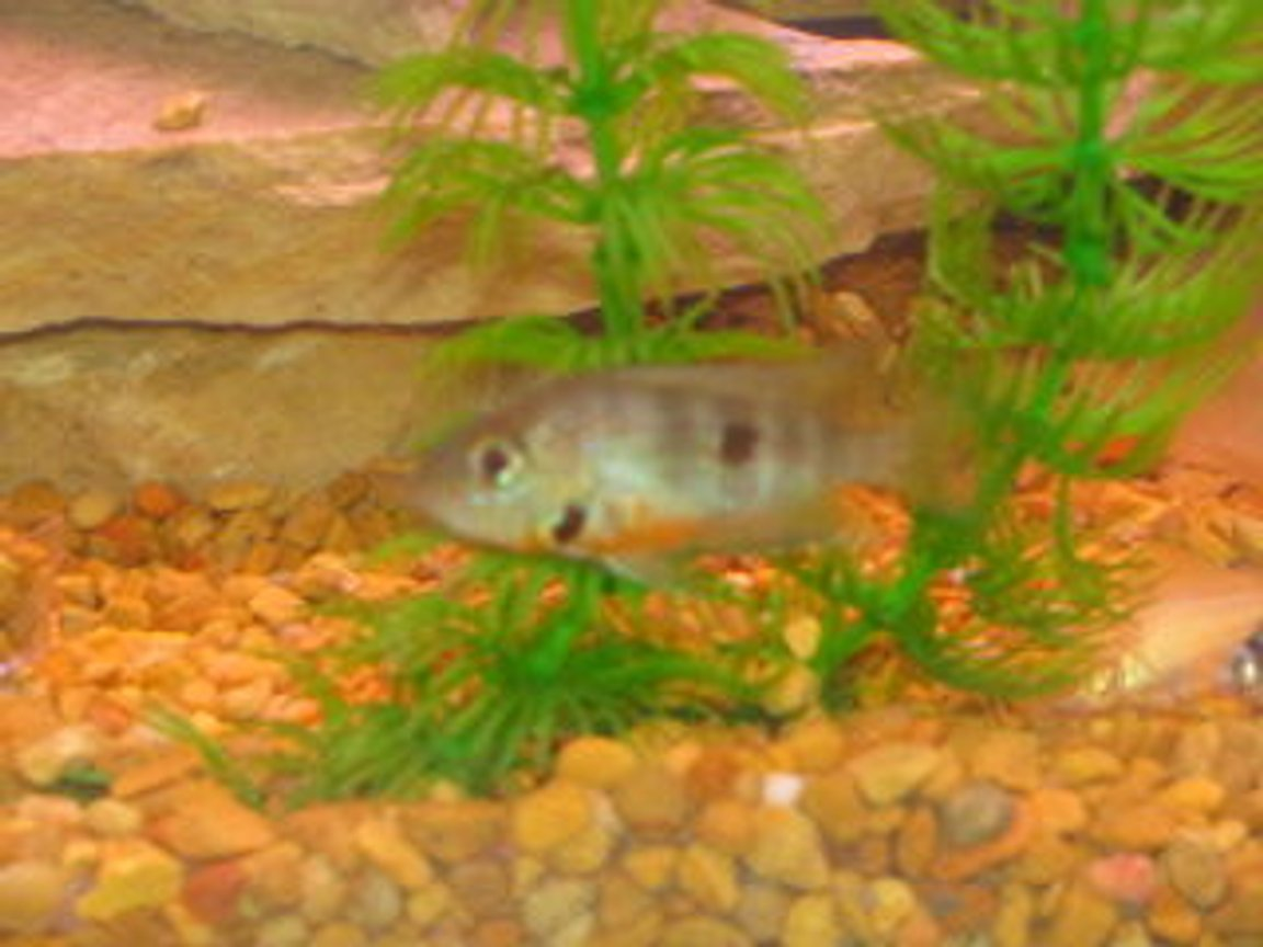 freshwater fish - thorichthys meeki - firemouth cichlid stocking in 29 gallons tank - fire mouth cichlid
