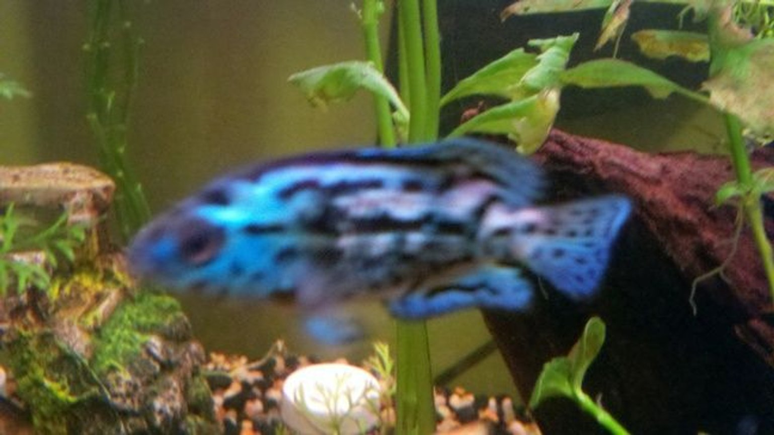 freshwater fish - nandopsis octofasciatum - electric blue jack dempsey stocking in 39 gallons tank - New Galaxy Blue Jack Dempsey