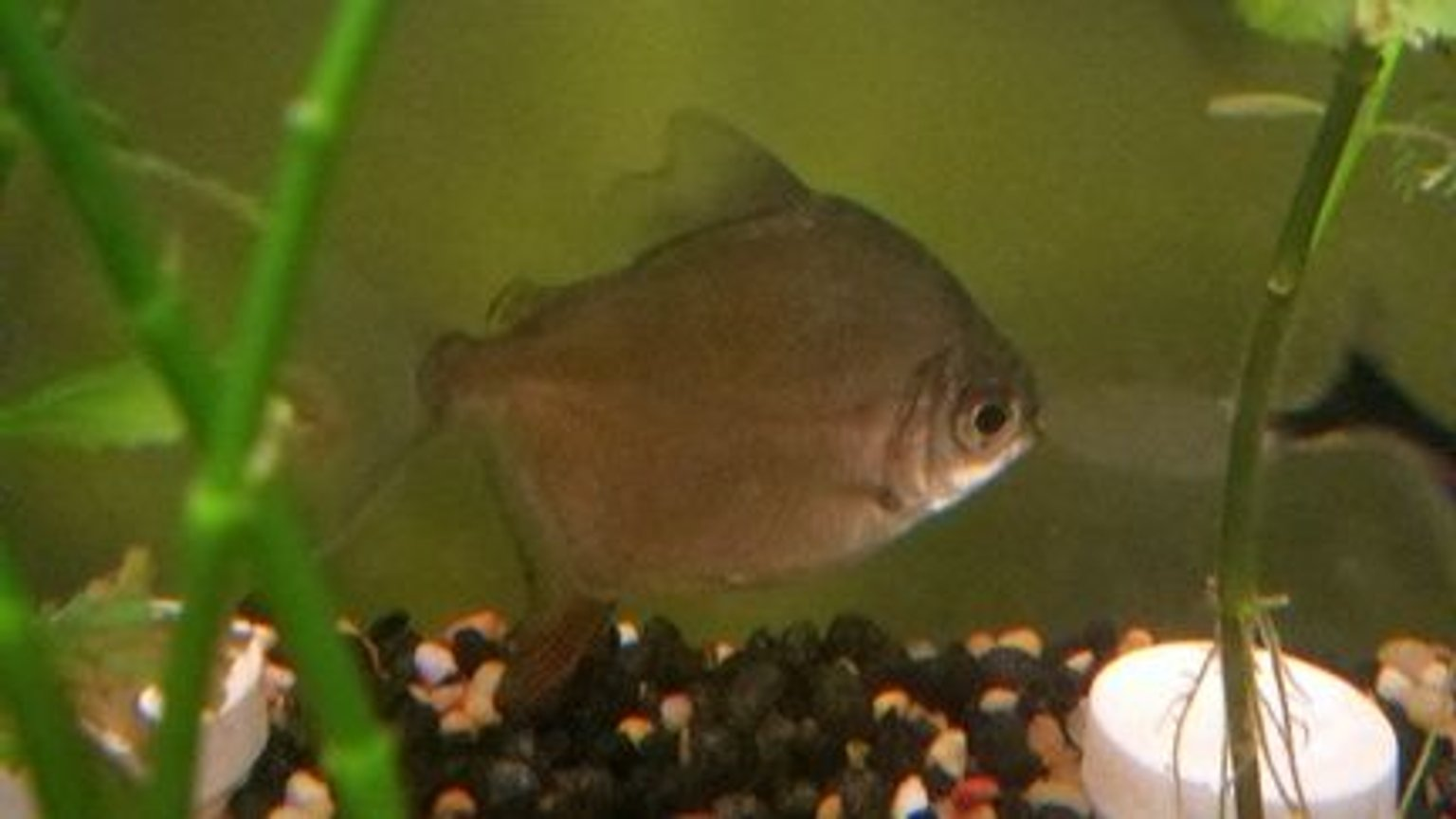 freshwater fish - metynnis argenteus - silver dollar stocking in 39 gallons tank - Red Hook II