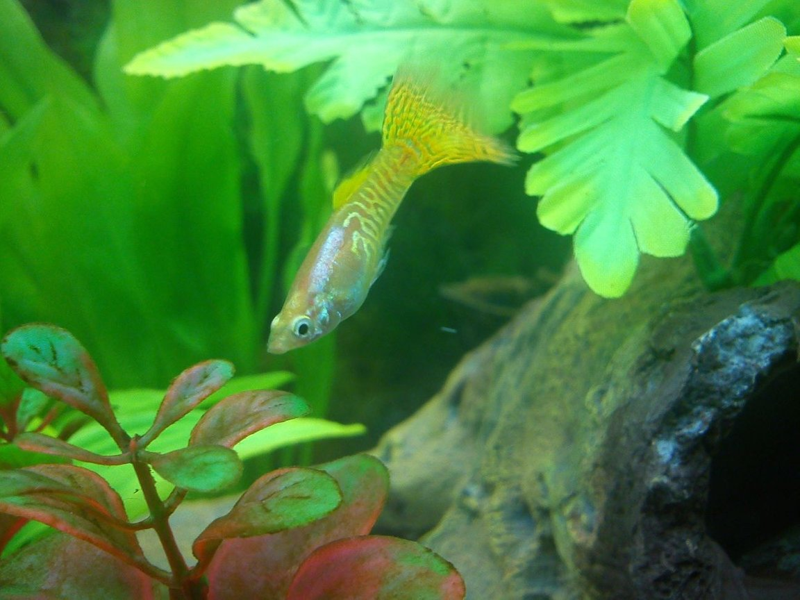 freshwater fish - poecilia reticulata - lemon cobra guppy stocking in 40 gallons tank - Yellow Guppy!