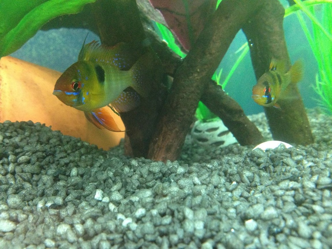 freshwater fish - papiliochromis ramirezi - german blue ram stocking in 45 gallons tank - My Rams
