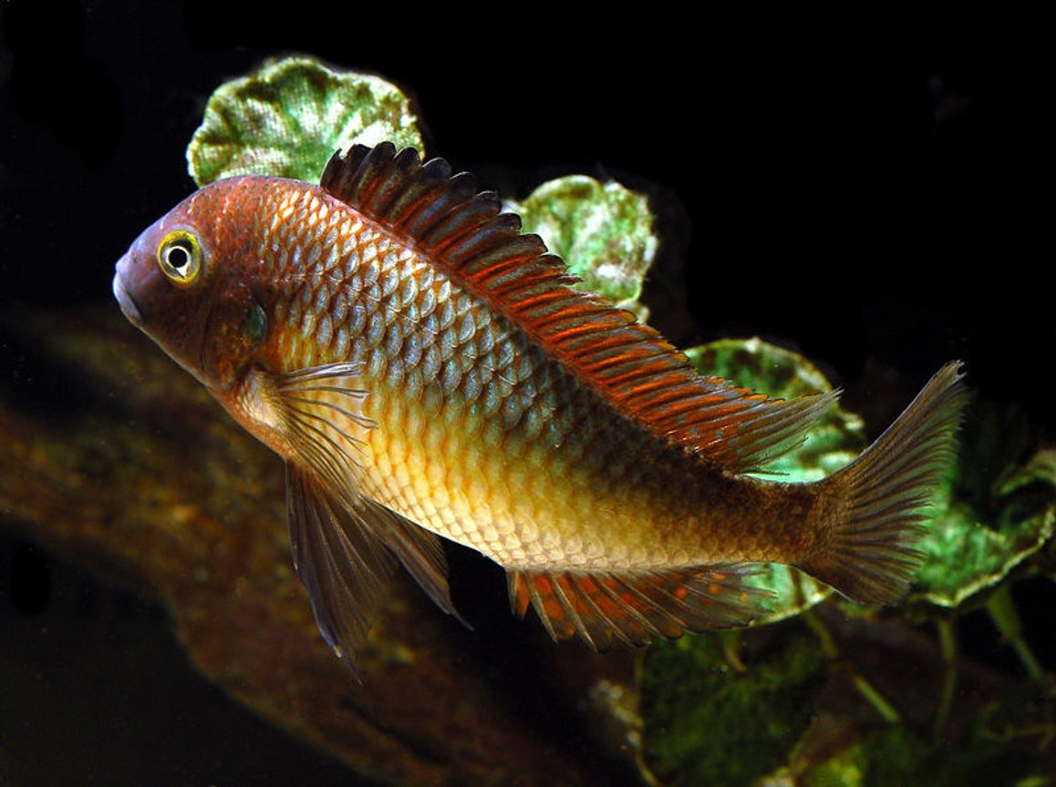 freshwater fish - tropheus moorii - blunthead cichlid stocking in 125 gallons tank - Tropheus
