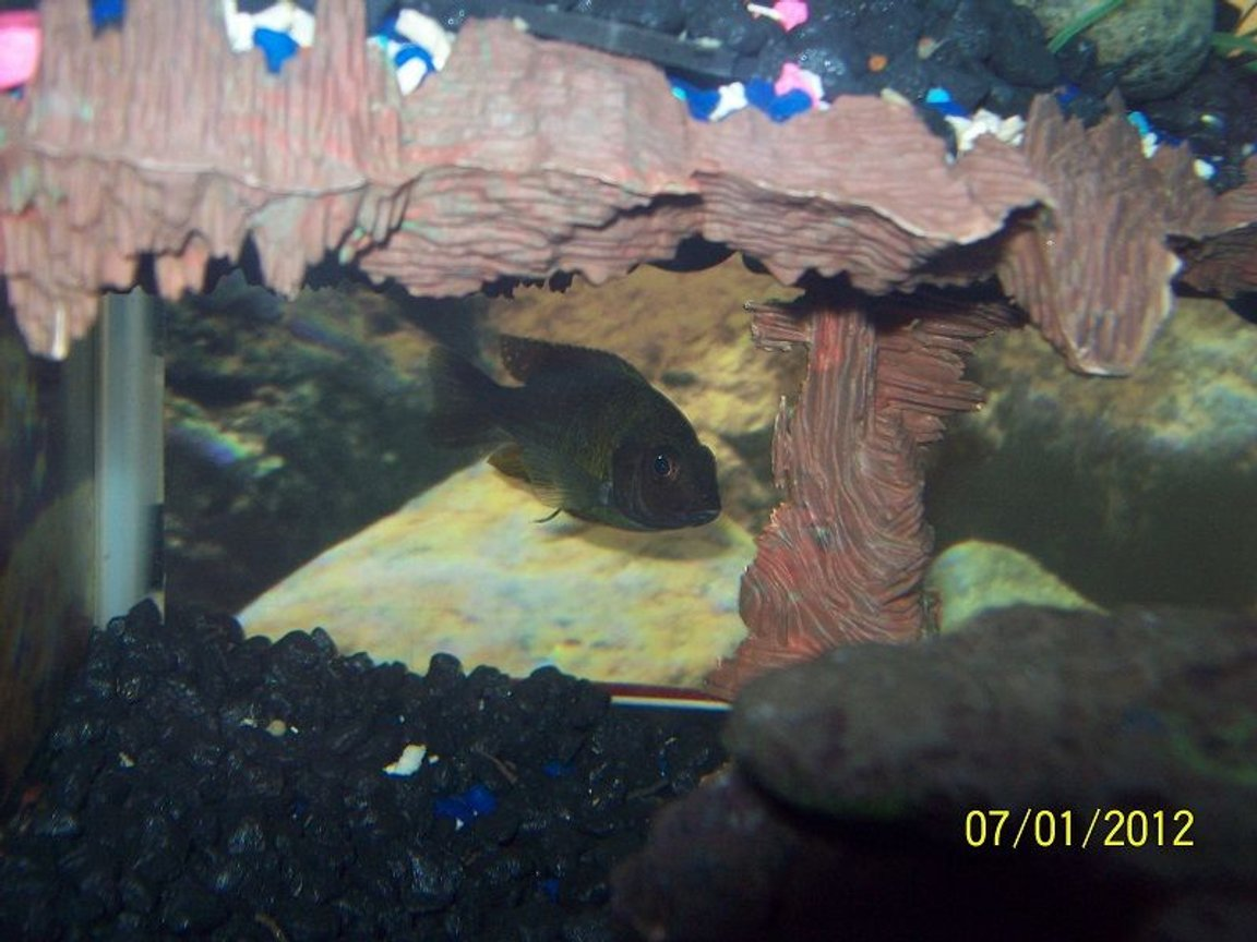 freshwater fish - iodotropheus sprengerae - rusty cichlid stocking in 55 gallons tank - Rusty Cichlid
