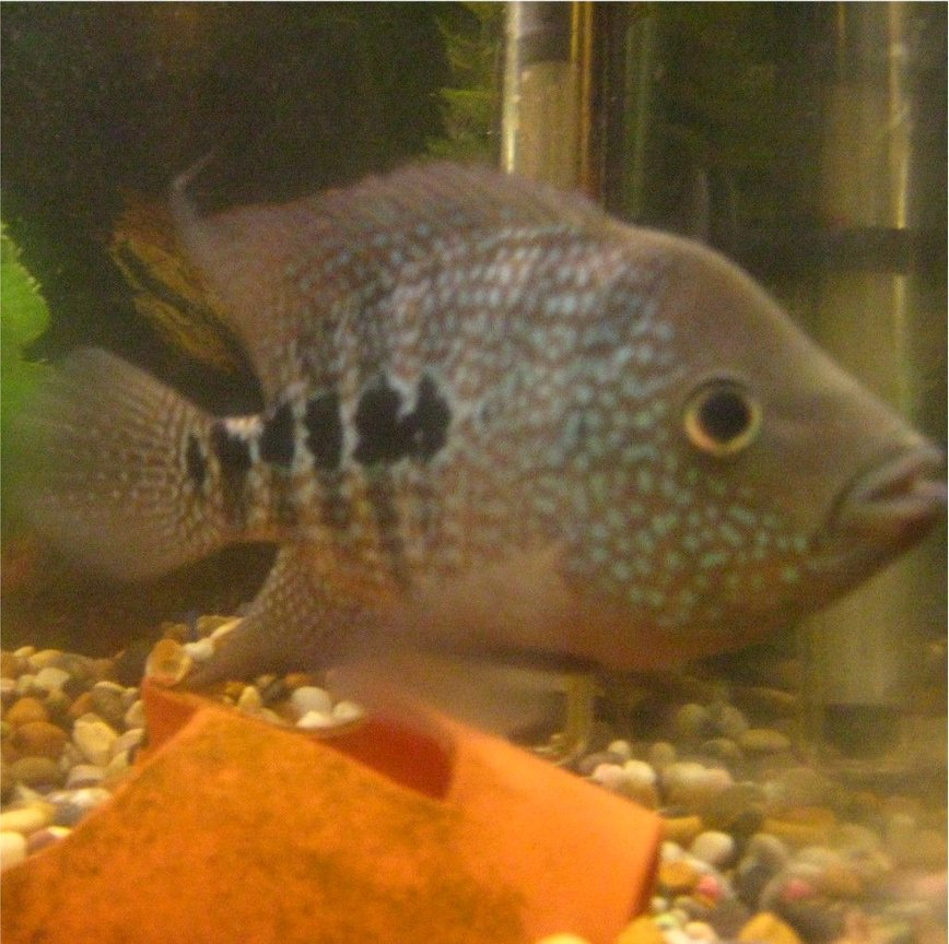 freshwater fish - nandopsis octofasciatum - jack dempsey stocking in 100 gallons tank - its me fish again