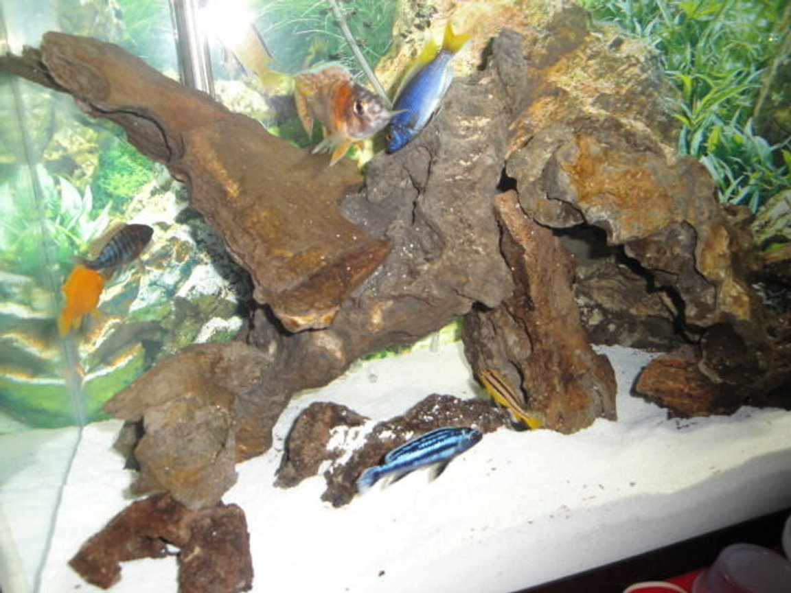 freshwater fish - melanochromis johannii - johanni cichlid stocking in 37 gallons tank - Most of my Cichlids in this one, some were hiding, however.