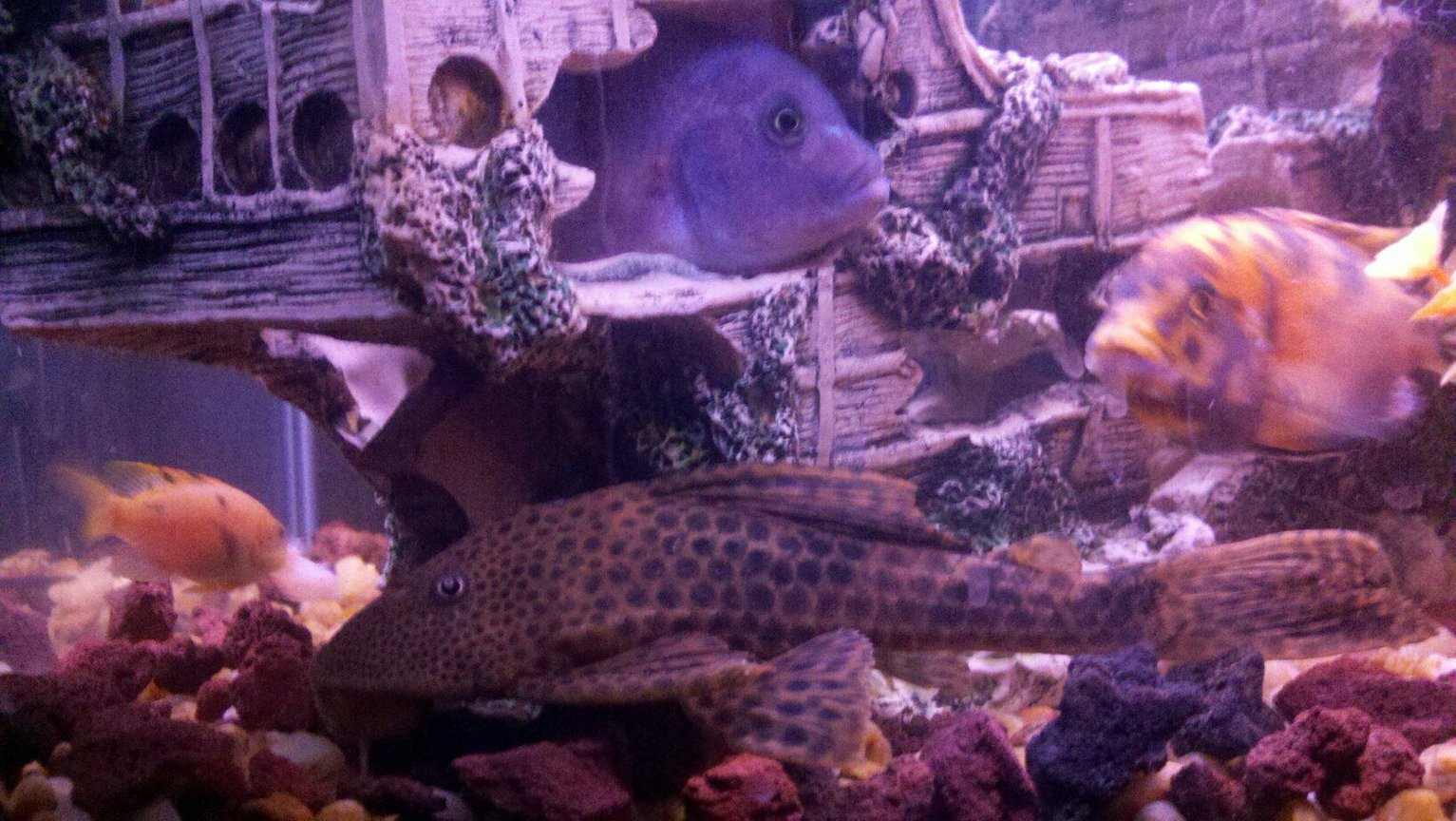 freshwater fish - glyptoperichthys gibbiceps - sailfin pleco (l-83) stocking in 100 gallons tank