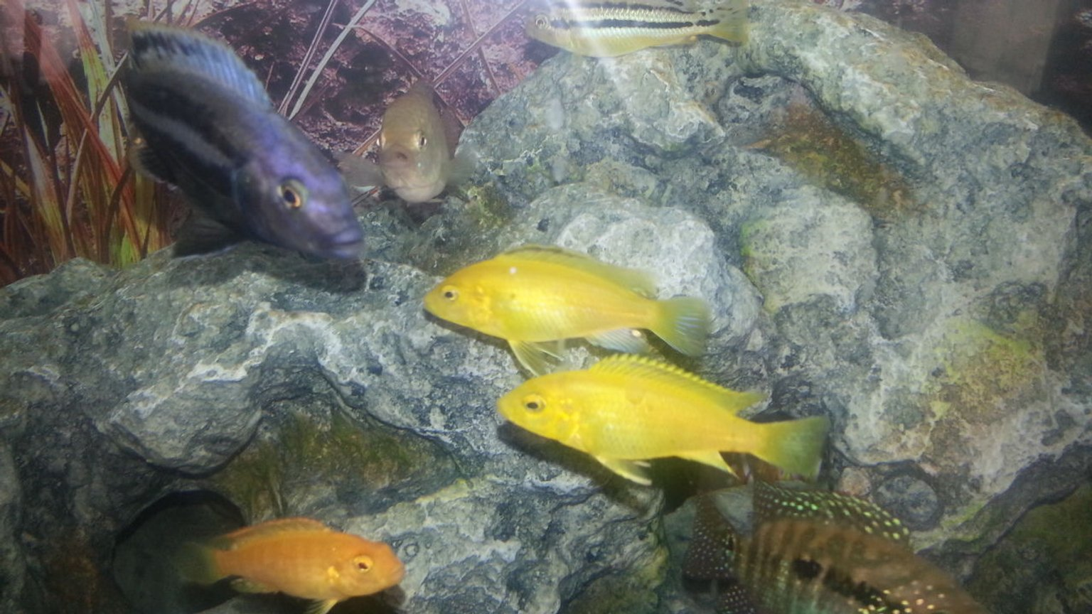freshwater fish - neolamprologus leleupi - orange leleupi cichlid stocking in 50 gallons tank - My Fish