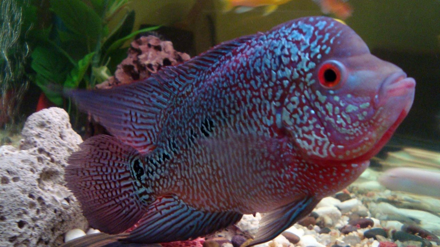 freshwater fish - cichlasoma sp. - flower horn cichlid stocking in 20 gallons tank - Flower horn with other Cichlids