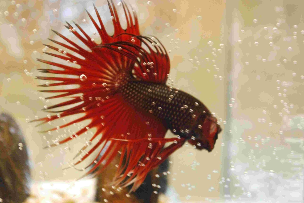 freshwater fish - betta splendens - crown tail betta stocking in 55 gallons tank - My Red Crowntail Beta