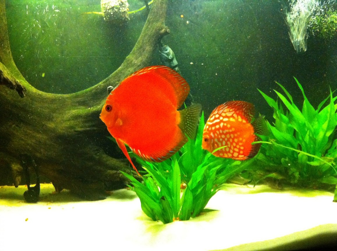 freshwater fish - symphysodon aequifasciatus - red melon discus stocking in 72 gallons tank - discus pair