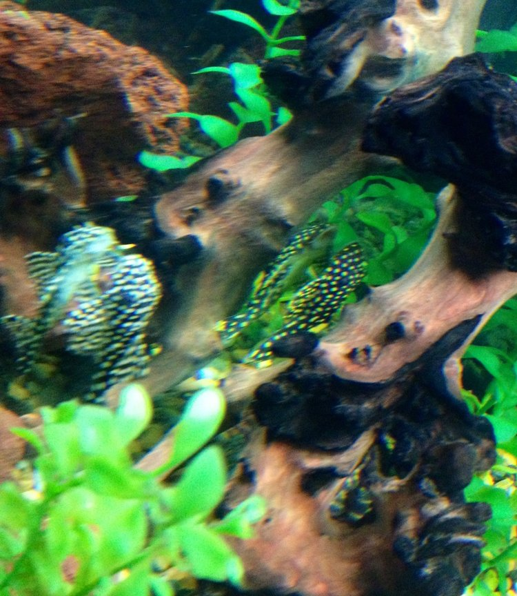 freshwater fish - baryancistrus sp. - gold nugget pleco (l-18) stocking in 75 gallons tank - Gold nugget and Galaxy (i believe) hanging out