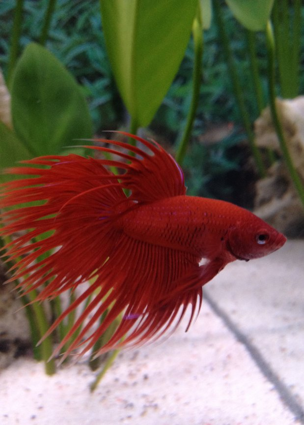 freshwater fish - betta splendens - crown tail betta stocking in 6 gallons tank - My Red CrownTail Male Betta Fish