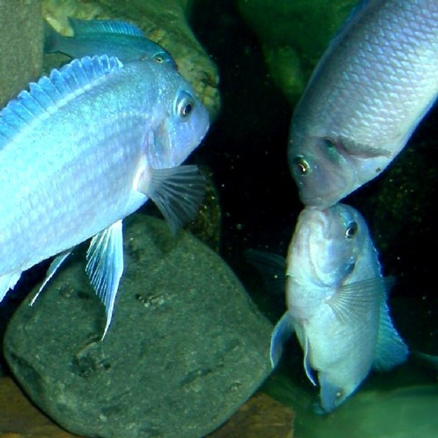 freshwater fish - maylandia callainos - blue cobalt cichlid stocking in 75 gallons tank - Fighting Females. Pseudotropheus zebra cobalt