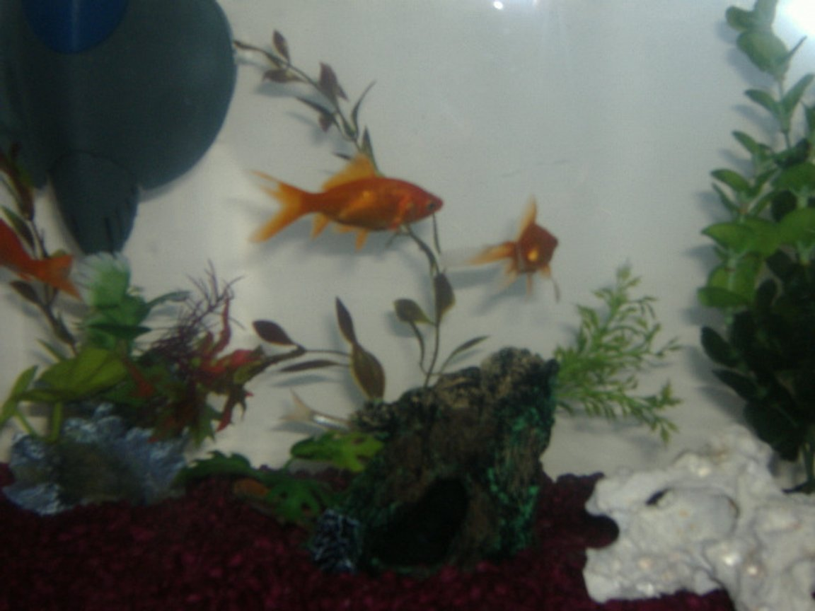 freshwater fish - carassius auratus - fantail goldfish stocking in 5 gallons tank - My Fish tank and my two fish Ellie And Maddie, the other fish are hiding LOL hope you like !! :)