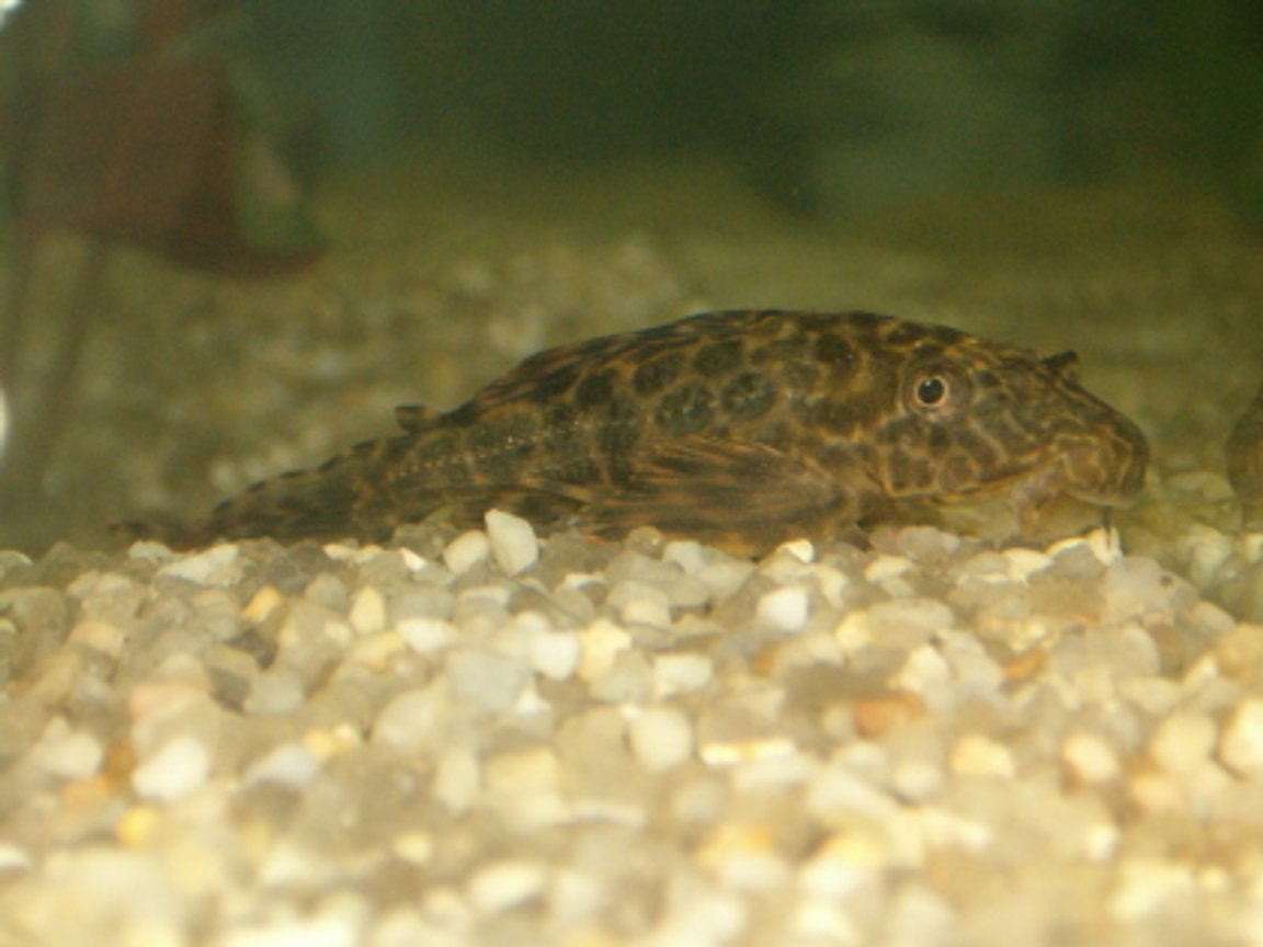 freshwater fish - peckoltia sp. - gypsy king tiger pleco (l-66) stocking in 20 gallons tank - plecosaur jr