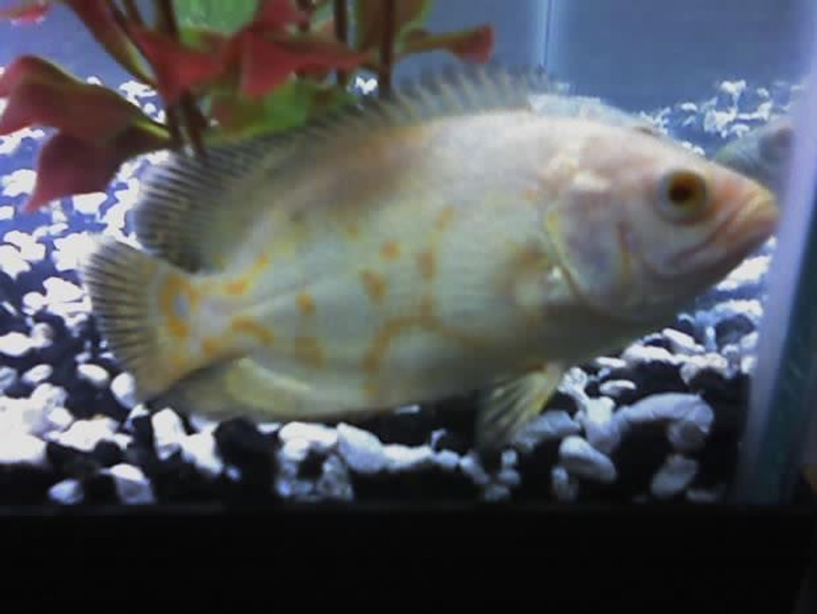 "freshwater fish - astronotus ocellatus - albino oscar stocking in 29 gallons tank - my 5 inch albino tiger oscar ""Martha"" Almost has an ""eye"" on her tail, which isnt all that common with albinos"