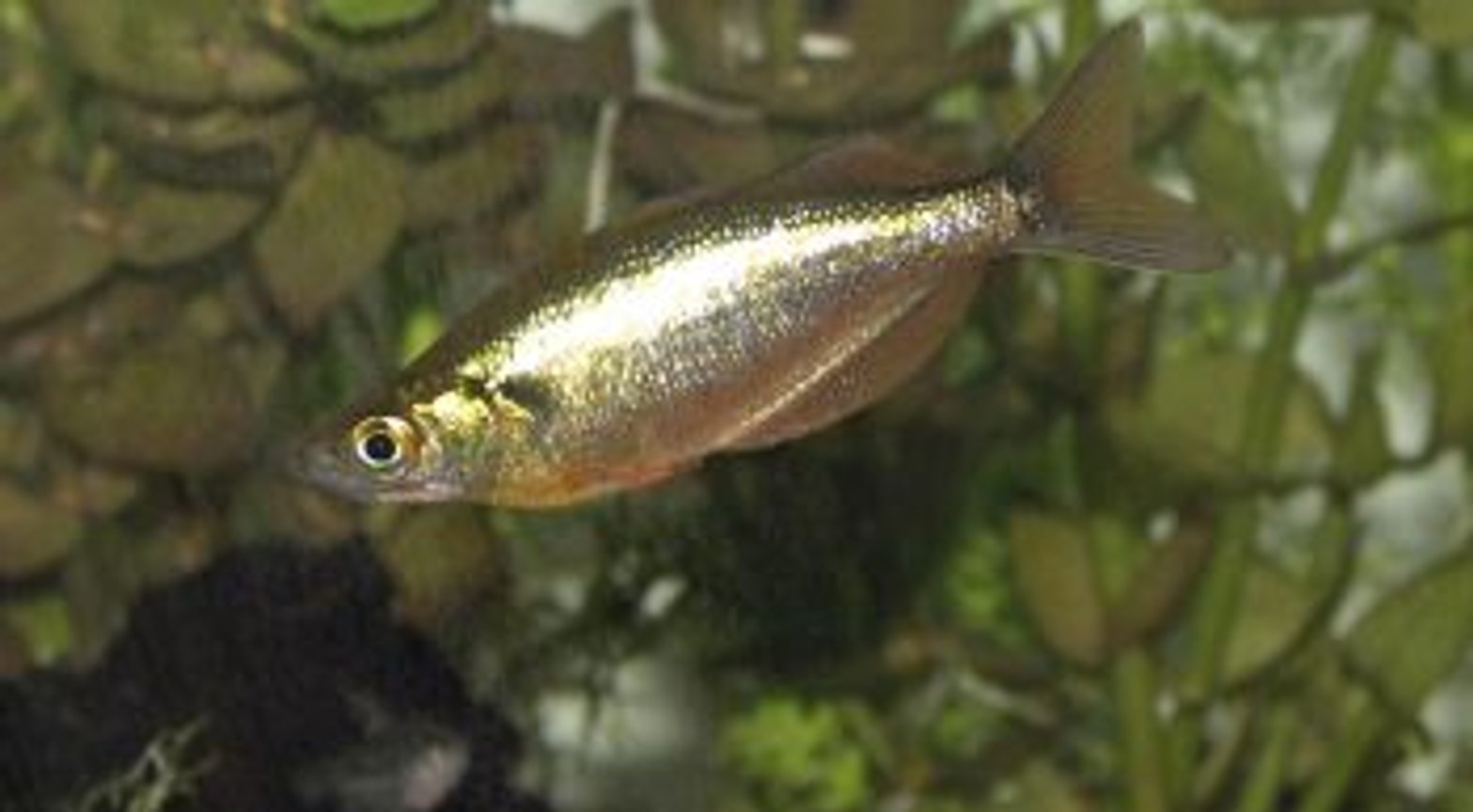freshwater fish - glossolepis incisis - red irian rainbow stocking in 55 gallons tank - RED IRIAN RAINBOW