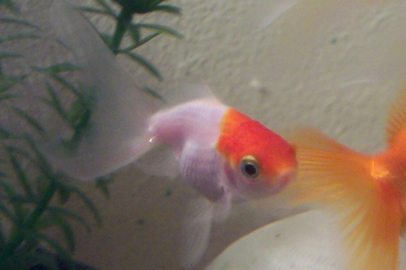 freshwater fish - carassius auratus - crown pearlscale goldfish stocking in 2 gallons tank - buba