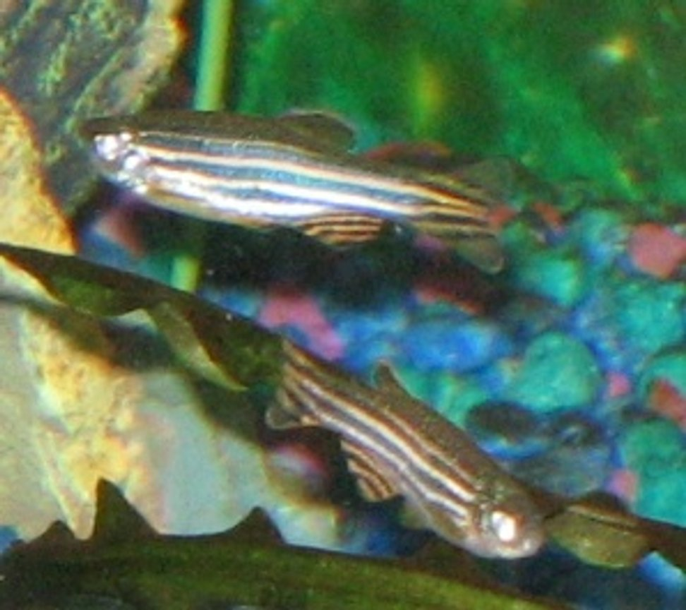 freshwater fish - danio rerio - zebra danio stocking in 55 gallons tank - Zebras