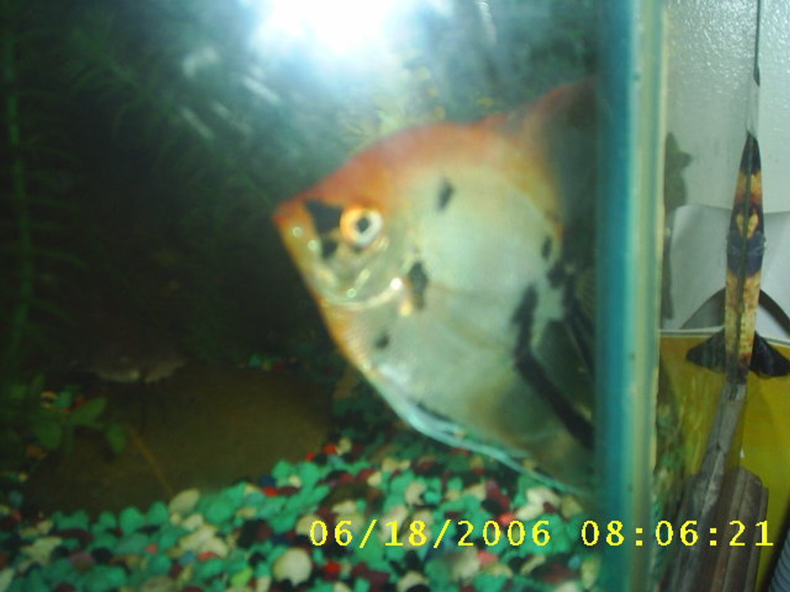 freshwater fish - genicanthus lamarck - lamarck's angelfish stocking in 60 gallons tank - this is my female angel