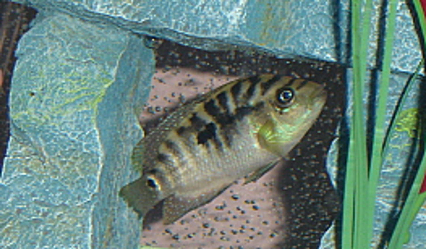 freshwater fish - nandopsis octofasciatum - jack dempsey stocking in 55 gallons tank - Immature Jack Dempsey