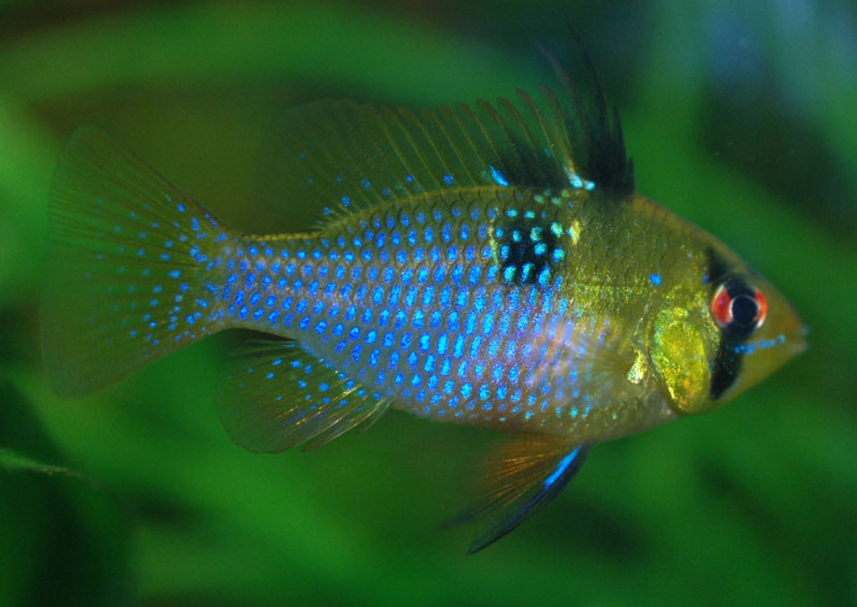 freshwater fish - papiliochromis ramirezi - german blue ram stocking in 250 gallons tank - Microgeophagus ramirezi female