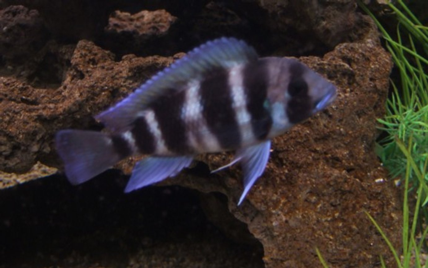 freshwater fish - cyphotilapia frontosa - frontosa cichlid stocking in 96 gallons tank - Frontosa, about 2 3/4 inchs, lovely little chap.