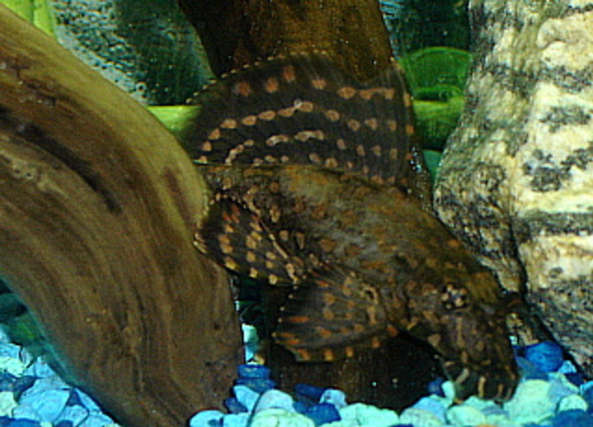 freshwater fish - leporacanthicus galazias - tooth-nose pleco (l-07a) stocking in 55 gallons tank - Spotted Pleco